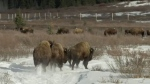 A group of 16 plains bison have been re-introduced to the Panther Valley in Banff National Park at the beginning of this month.