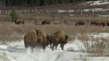 Bison reintroduced to Banff