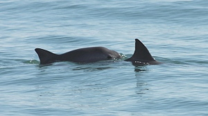 A Vaquita porpoise is seen in this undated image.