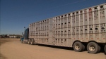 Ottawa reviewing livestock transportation