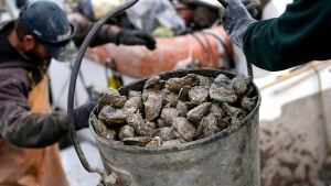 Oysters are unloaded by the bucketfull in this Dec. 2013 file photo. (Ap/Patrick Semansky)