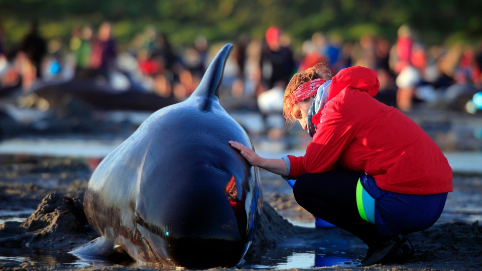 In this Friday, Feb 10, 2017 photo, German visitor Lea Stubbe rubs water on a pilot whale that beached itself at the remote Farewell Spit on the tip of the South Island of New Zealand. (Tim Cuff/New Zealand Herald via AP)