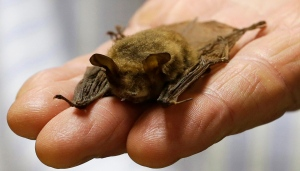 In this Feb. 8, 2017 photo, a northern long-eared bat, is held at the Cleveland Museum of Natural History, in Cleveland. (AP / Tony Dejak)