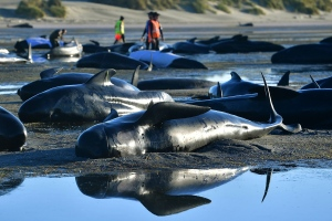 This picture taken on February 11, 2017 shows pilot whales lying on a beach during a mass stranding at Farewell Spit in New Zealand. (© Marty MELVILLE / AFP)