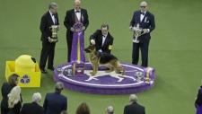 German shepherd wins top award at Westminster