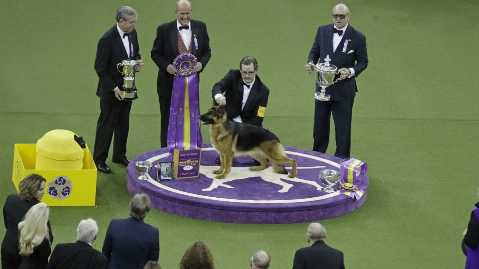 A handler poses for photographs with Rumor, a German shepherd, after Rumor won Best In Show at the 141st Westminster Kennel Club Dog Show in New York on Tuesday, Feb. 14, 2017. (AP / Frank Franklin II)