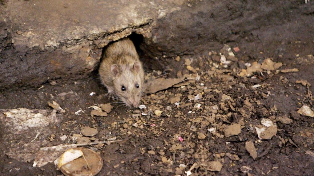Rat at a Brooklyn, NYC subway stop