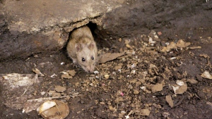 A rat comes briefly out of a hole at a subway stop in Brooklyn, New York, on Dec. 12, 2005. (AP / Julie Jacobson)