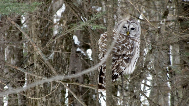 An owl winking while sitting and waiting for a squirrell to resurface from under the snow. (Jim Riddell/CTV Viewer)