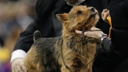 Tanner, a Norwich terrier, is examined by a judge during the terrier group competition at the 141st Westminster Kennel Club Dog Show in New York, Tuesday, Feb. 14, 2017. (AP Photo/Julie Jacobson)