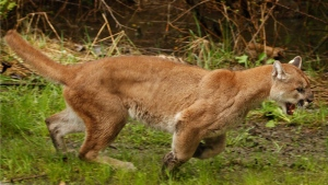 A two-year-old female cougar is seen in this May 23, 2012 file photo from Arlington, Wash. (Mark Mulligan/The Daily Herald via AP)