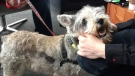 Miniature Schnauzer 'Sino' was all smiles at 'Cupcakes and Cuddles.'