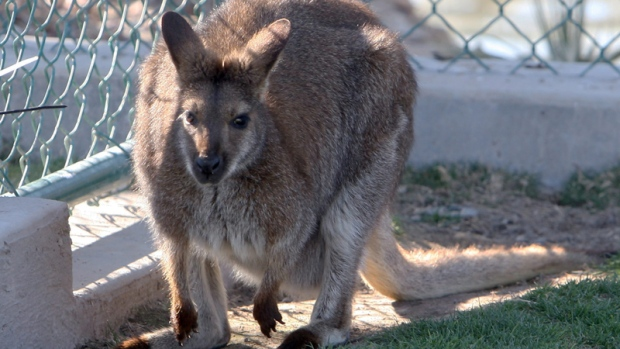 A wallaby is shown in a file photo. (AP Photo/Las Vegas Review-Journal, Jerry Henkel)