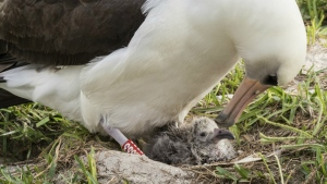Wisdom and her new chick are seen at the Midway Atoll National Wildlife Refuge and Battle of Midway National Memorial in the Papahanaumokuakea Marine National Monument on Thursday, Feb. 7, 2017. (Naomi Blinick / USFWS Volunteer)