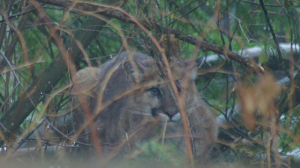 A cougar is seen in the backyard of a Coquitlam, B.C. home in Feb. 2017. (Facebook)