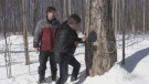 Tapping Ontario's first maple trees