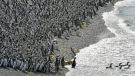 Penguins pack on a beach at Punta Tombo peninsula in Argentina's Patagonia, on Friday, Feb. 17, 2017. (AP / Maxi Jonas)