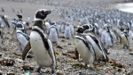 Penguins walk on a beach at Punta Tombo peninsula in Argentina's Patagonia, on Friday, Feb. 17, 2017. (AP / Maxi Jonas)