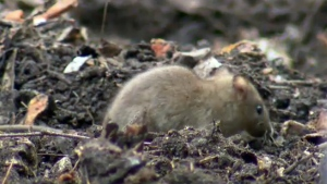 Construction sends rats scurrying for new homes