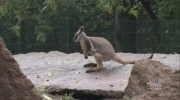 AWOL wallaby
