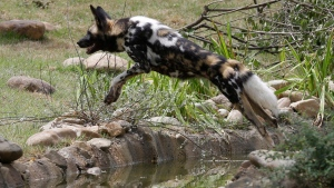 An African painted dog leaps over water in the new Painted Dog Valley exhibit just opened to the public, Monday, June 30, 2014, at the Cincinnati Zoo in Cincinnati.