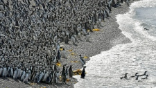 Penguins pack on a beach