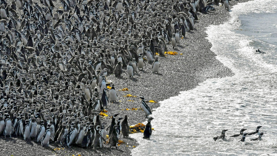 Penguins pack on a beach at Punta Tombo peninsula in Argentina's Patagonia, on Friday, Feb. 17, 2017. Drawn by an unusually abundant haul of sardines and anchovies, over a million penguins visited the peninsula during this years' breeding season, a recent record number according to local officials. Punta Tombo represents the largest colony of Magellanic penguins in the world. (AP Photo/Maxi Jonas)