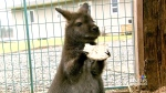 Wallaby reunited with owners after 3 day adventure