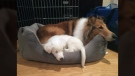 An eight-week-old deaf and blind puppy has a happy ending after she was adopted – and welcomed with open paws by an older dog willing to show her the ropes. Feb. 20, 2017. (Courtesy Victoria Humane Society)