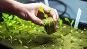 Romaine lettuce seedlings grow at and Aquaponics farm at the AquaGrow Farms inside The Mississauga Food Bank in Mississauga, Ont., Friday February 10, 2017. THE CANADIAN PRESS/Mark Blinch