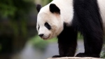 Panda cub Bao Bao at the Smithsonian's National Zoo in Washington, on Sept. 25, 2015. (Manuel Balce Ceneta / AP)