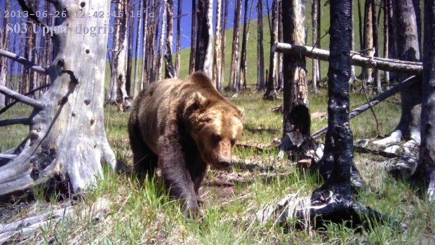 A remote camera photo of a grizzly bear is shown in a handout photo.(THE CANADIAN PRESS/HO-University of Montana)