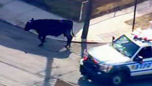 Extended: Cow escapes NY slaughterhouse