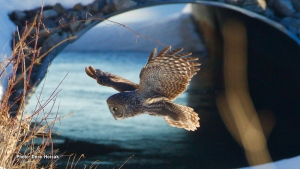 Great Grey Owl hunting and going in for the grab on the side of a creek in Ottawa's west end. (Dean Hoisak/CTV Viewer)