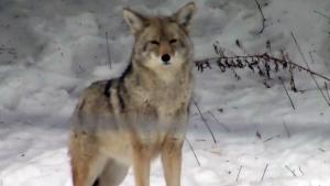 CTV Montreal: Pointe Claire coyote
