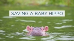 How doctors saved Fiona the premature baby hippo