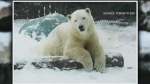 Polar bear Juno moving to Assiniboine Park Zoo