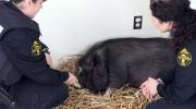 CTV Northern Ontario: Pet pig surrendered