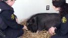 CTV Northern Ontario: Pet pig surrendered