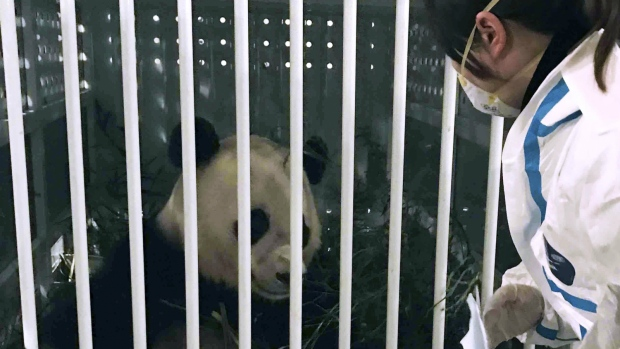 A staff member of Sichuan Entry-Exit Inspection and Quarantine Bureau checks the condition of giant panda Bao Bao upon her arrival at Chengdu Shuangliu International Airport in Chengdu, the capital of southwest China's Sichuan Province on Wednesday, Feb. 22, 2017. (Liu Kun / Xinhua)