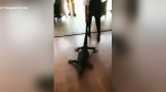 Waitress drags giant lizard out of an Australia