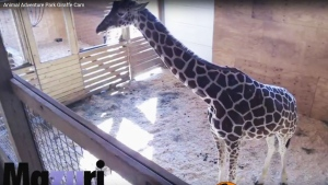 Animal Adventure Park started streaming video of 15-year-old April in her enclosed pen at the zoo in Harpursville, more than 200 kilometres of New York City on Wednesday, Feb. 22, 2017.