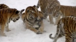 Tigers swat drone out of the sky for metal meal