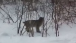 Another bobcat sighting in Cape Breton residential area