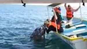 Extended: Tourist gives whale a kiss in Mexico