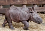 A newly born baby Indian rhino walks in its enclosure at the zoo in Plzen, Czech Republic, Friday, Feb. 24, 2017. The baby was born on Feb. 5, 2017, and is yet to be named. (AP Photo/Petr David Josek)