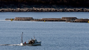 A fishing boat heads past fish farm cages in Shelburne Harbour on Nova Scotia's South Shore on Tuesday, Feb. 21, 2011. (Andrew Vaughan/The Canadian Press)