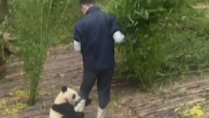 CTV News Channel: Panda gets far too clingy