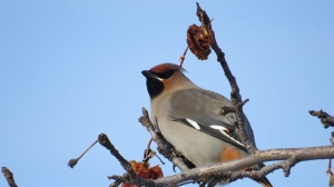 A cedar waxwing perches on a branch. Photo by Kay De'Ath.