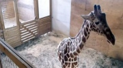 LIVE1: Giraffe Cam: April expected to give birth